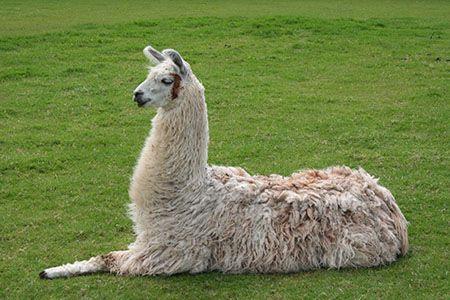 Wol komt van schapen, maar soms ook van lama's
